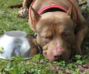 Чем и как кормить питбультерьера, что бы вырастить здоровую собаку
