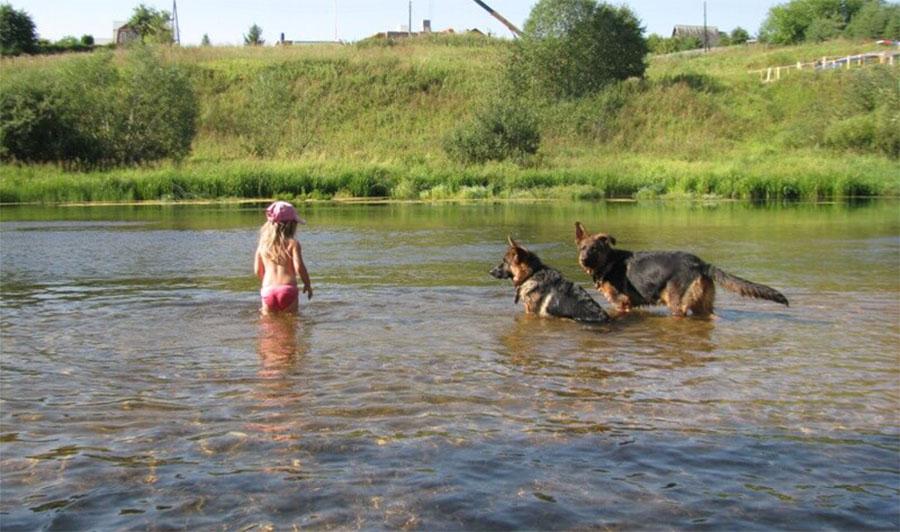 Немецкие овчарки купаются в реке