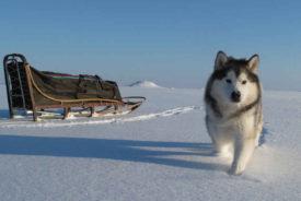 Аляскинский маламут и его здоровье
