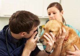 Осмотр ветеринаром у собаки глаза