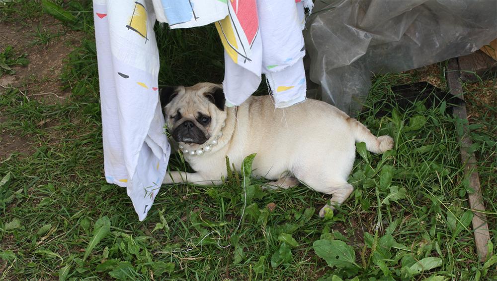 Как определить беременна ли собака