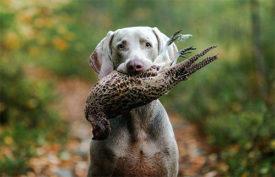 Веймаранер с птицей в зубах