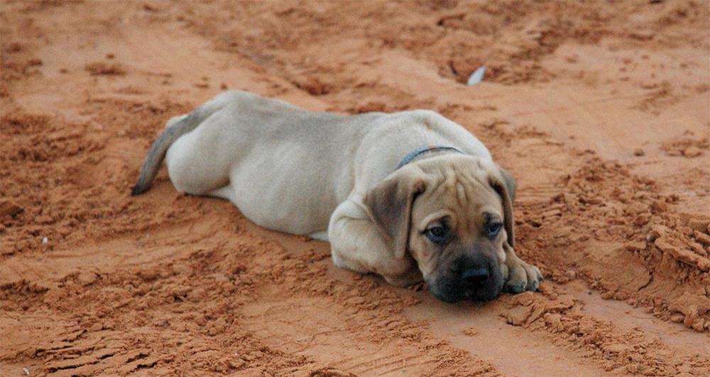 Покупка щенка бульмастифа
