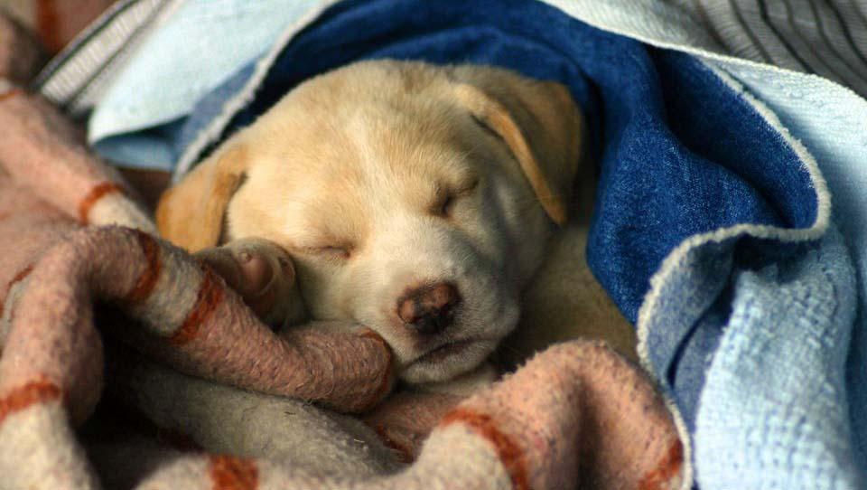 Простуженная собака