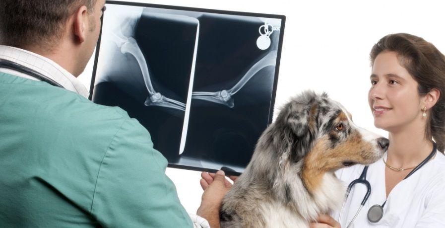 Проведения рентгенологического обследования собаки