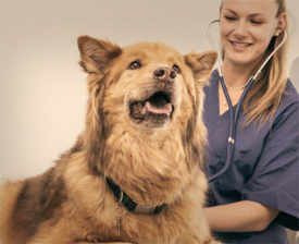 Лечение миозита у собак