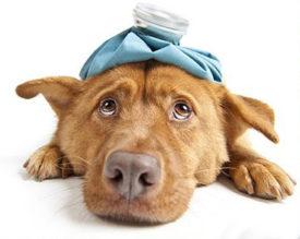Сотрясение мозга у собаки