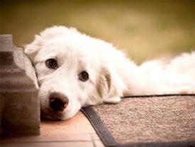 Выделения у беременных собак как симптом патологии