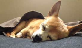 Симптомы пиелонефрита у собак