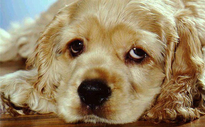 Прогноз для собак при анемии