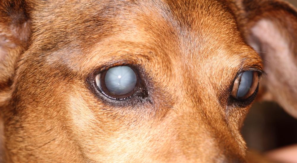 Симптомы катаракты у собак