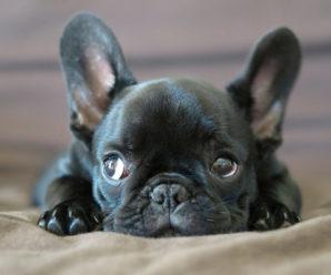 Выбираем подходящую кличку для щенка французского бульдога
