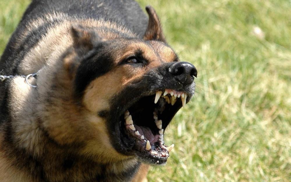 Обучение служебной собаки команде голос