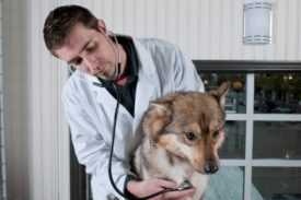 Осложнения дирофиляриоза у собак