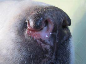 Симптомы ринита у собак