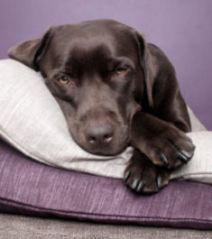 Собака с бронхитом