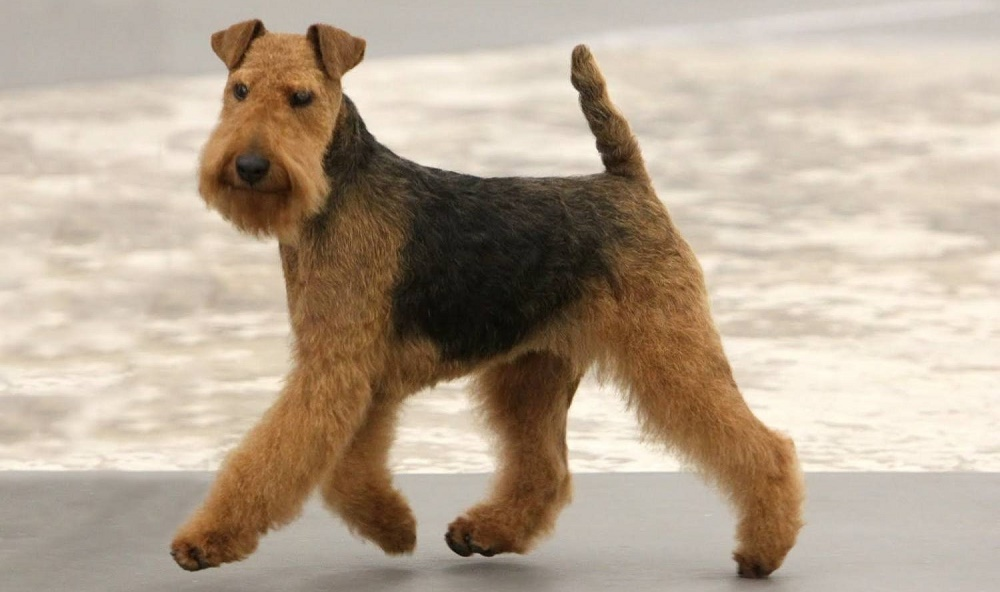 Собака породы Вельштерьер