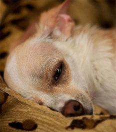 Сонливость у собаки из-за мастита