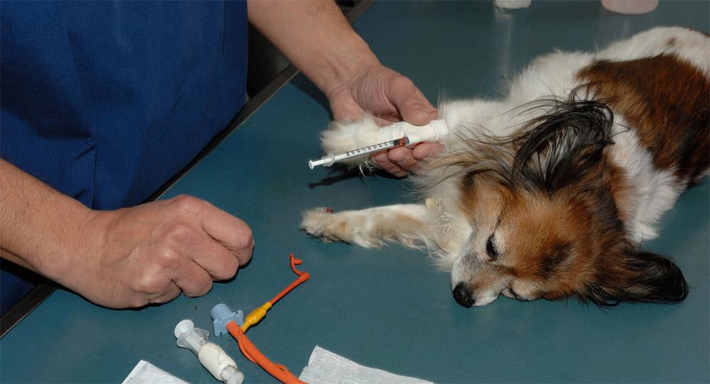 Берет анализ крови у собаки
