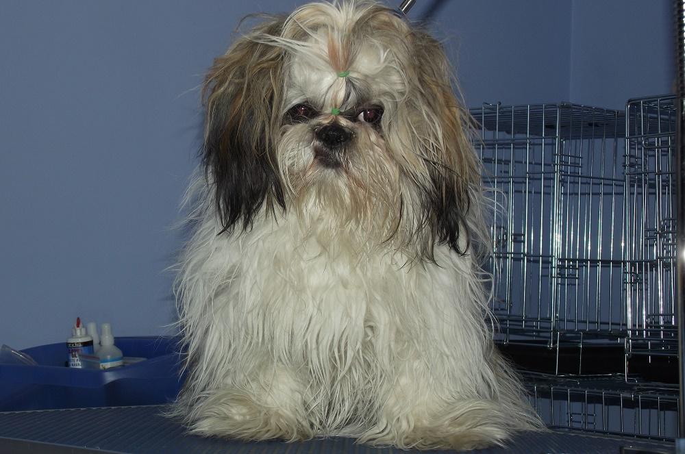Пиодермия у длинношерстных собак
