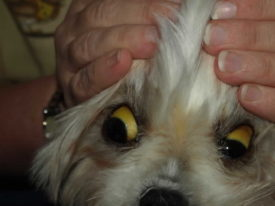 Симптомы лептоспироза у собак