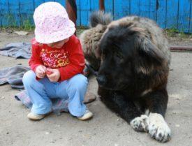 Характер кавказских овчарок