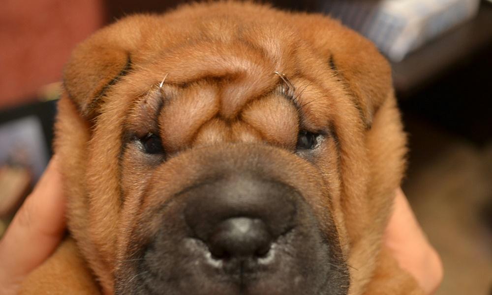 Причины красноты глаз у собак