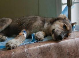 Лечение лимфомы у собак