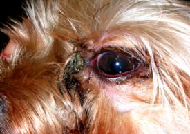 Симптомы конъюнктивита у собак