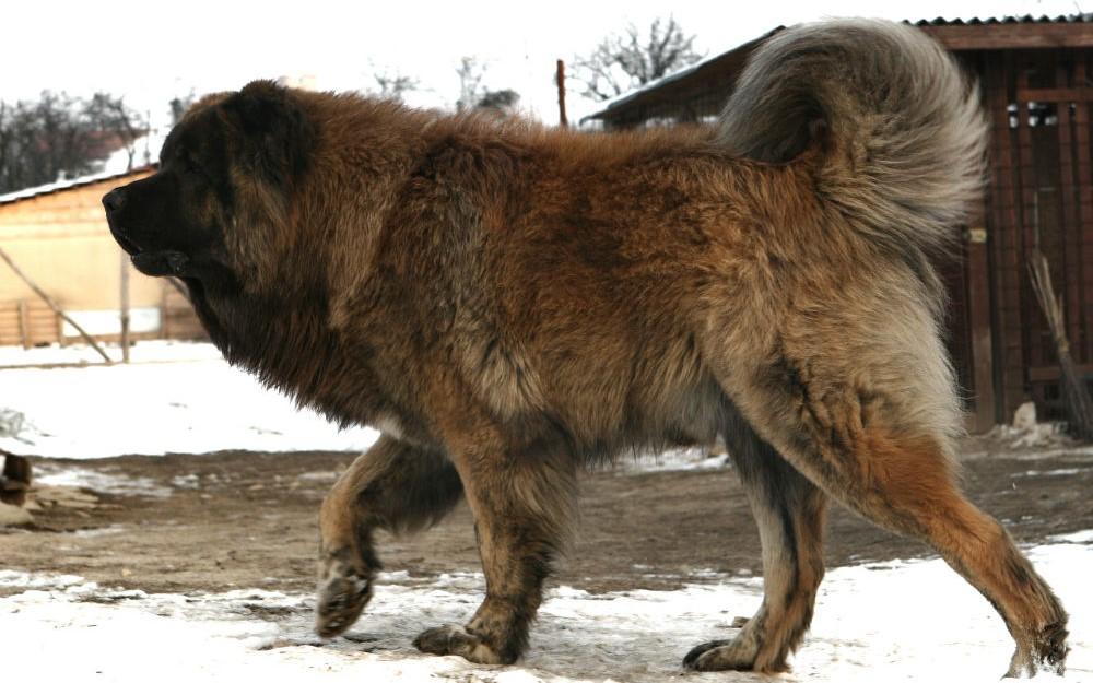 Как правильно ухаживать за кавказской овчаркой