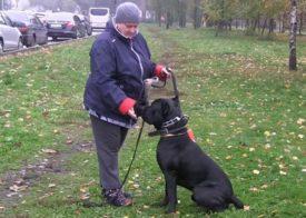 Тонкости дрессировки собак породы кане корсо