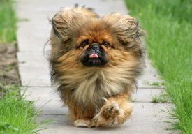 Собака породы пекинес
