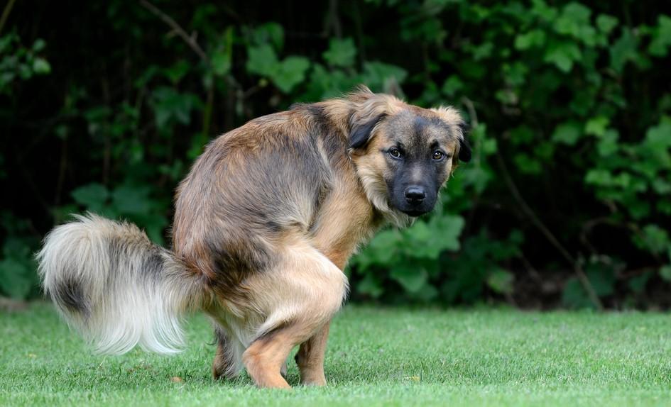 Возможные причины развития поноса у собак