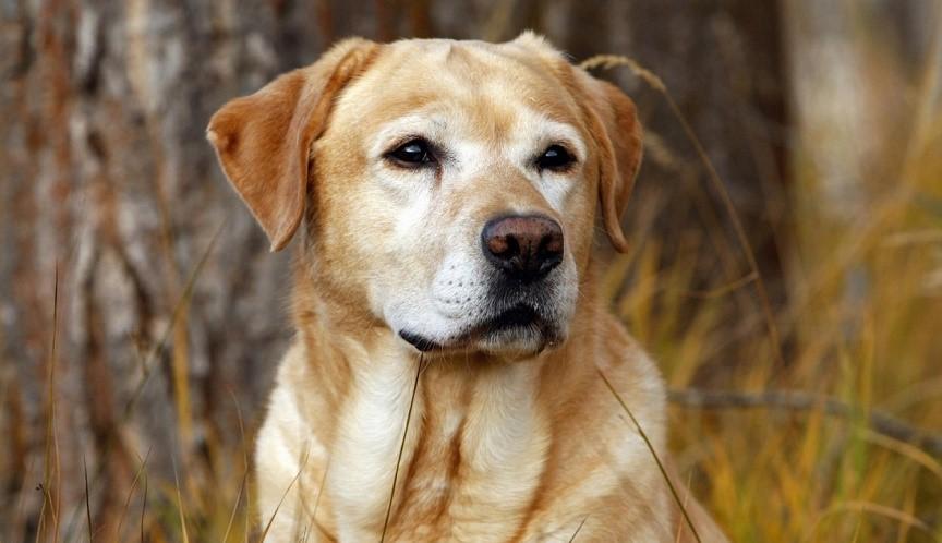 Лимфома у собаки