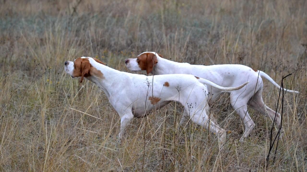 Охота с пойнтерами