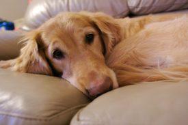 Причины простатита у собак