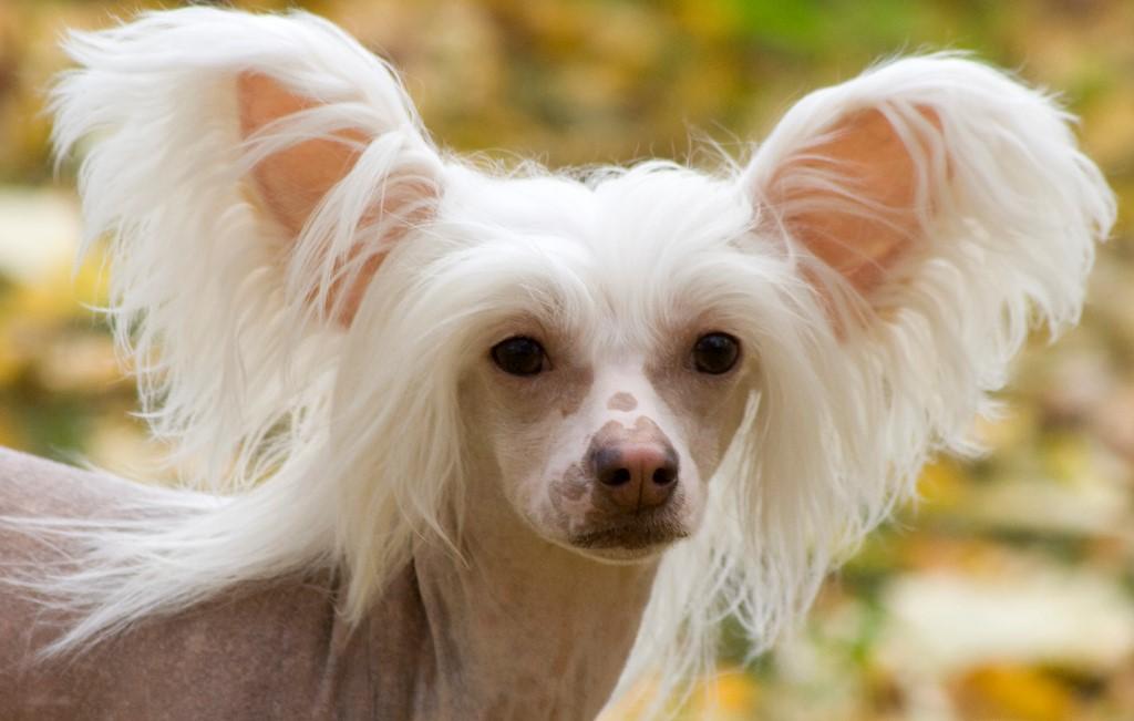 Порода собак китайская хохлатая