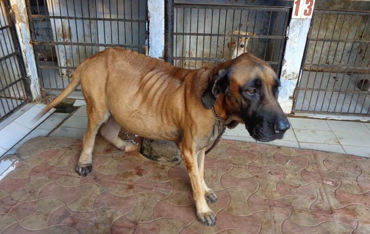 Признаки и симптомы асцита у собаки