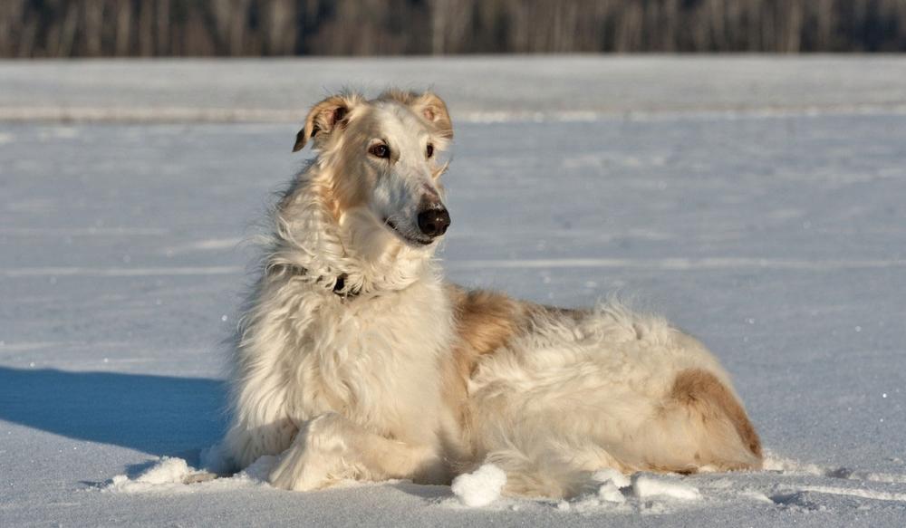 Здоровье русской псовой