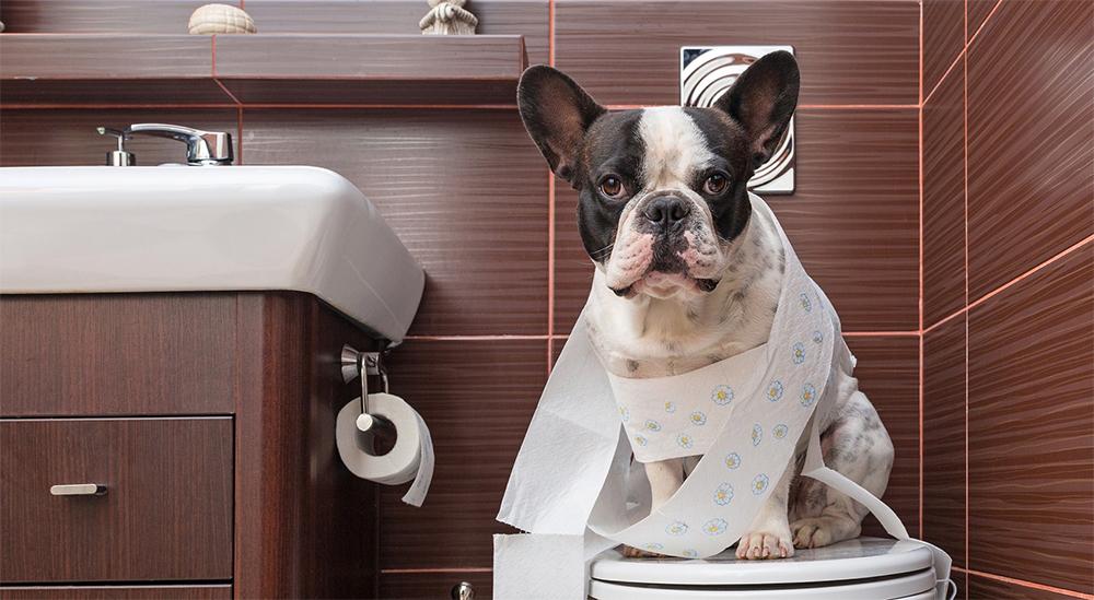 Симптоматика простатита у собак