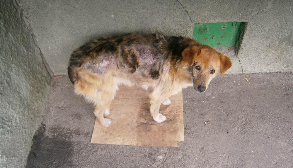 Саркоптоз у собаки