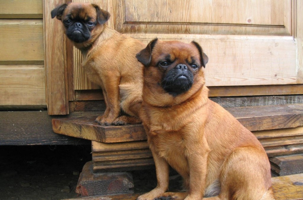 Порода собак пти-брабансон