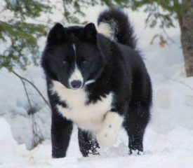 Дрессировка и воспитание медвежьей собаки