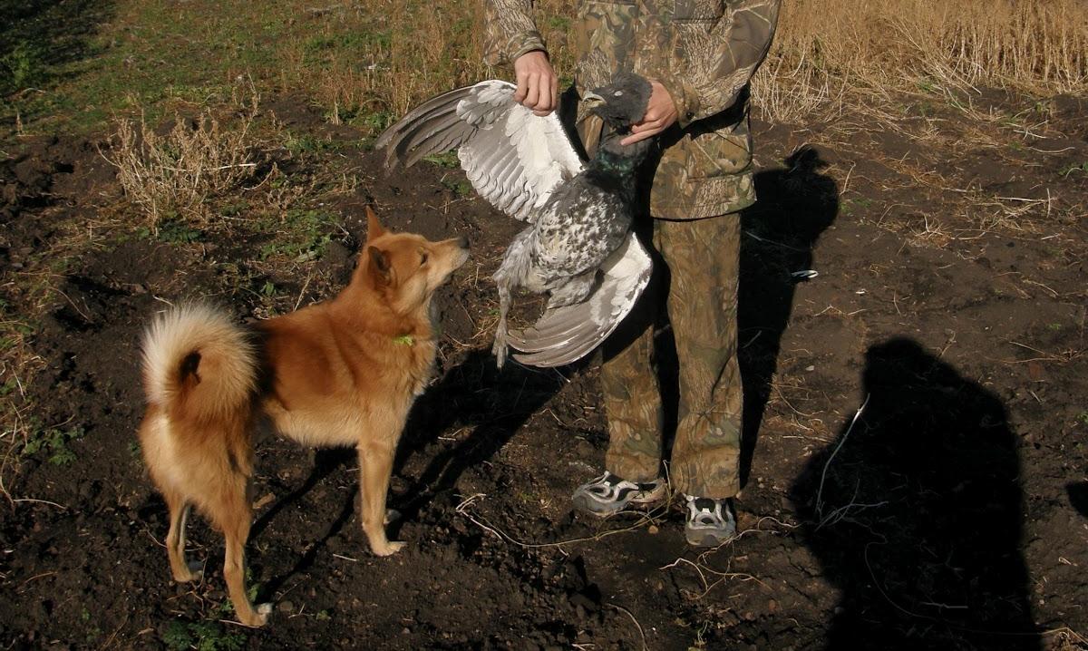Охота с карело-финской лайкой