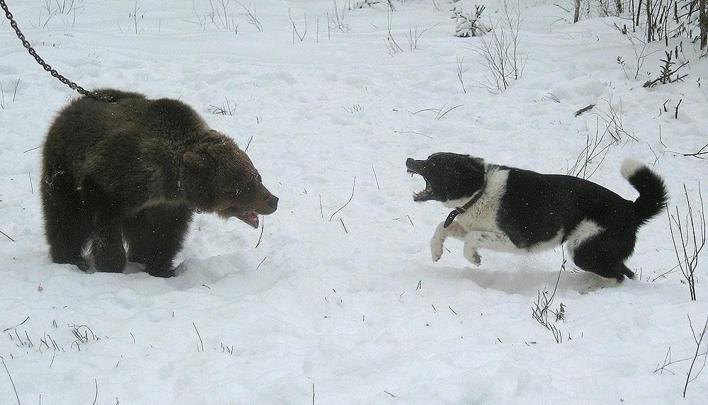 Охота с медвежьей лайкой