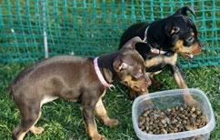 Чем кормить щенков карликового пинчера