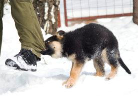 Как отучить щенка кусать ноги