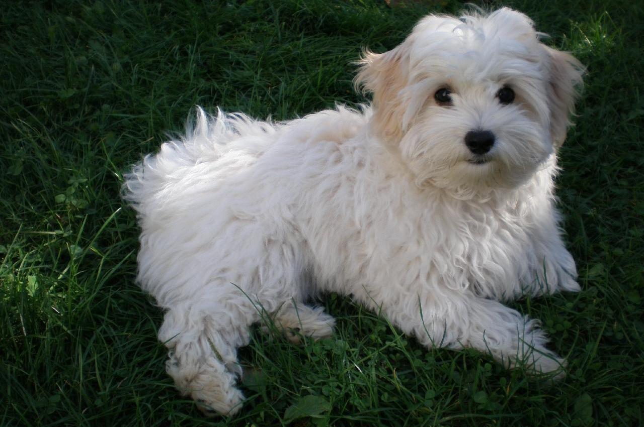 Порода собак болоньез