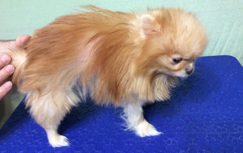 Лечение алопеции у собак