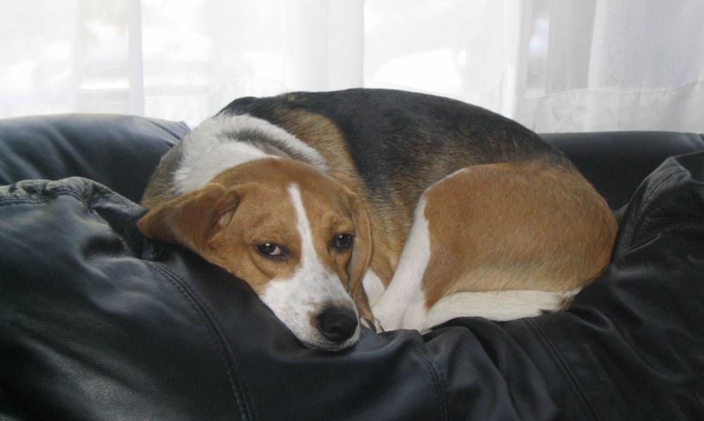 Порода собак бигль: описание породы с фото, характер и отзывы